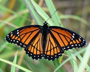 Monarch Butterfly or Impostor?