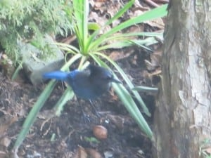 Steller's Jay and walnut