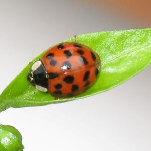 How Many Spots Does A Ladybug Have?