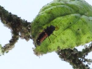 ladybuglarva