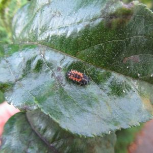 Ladybugs – Predators of the Garden