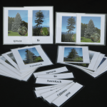 Montessori-botany-card-conifer