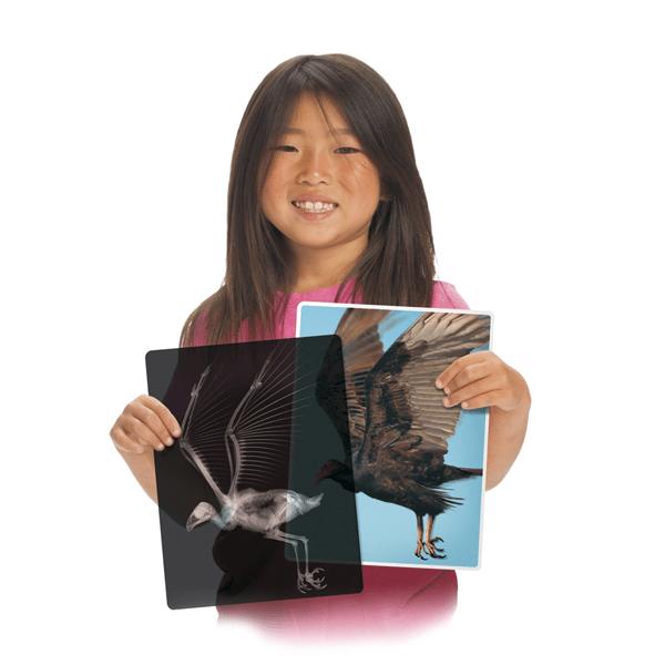 Girl showing Roylco animal x-rays of bird.
