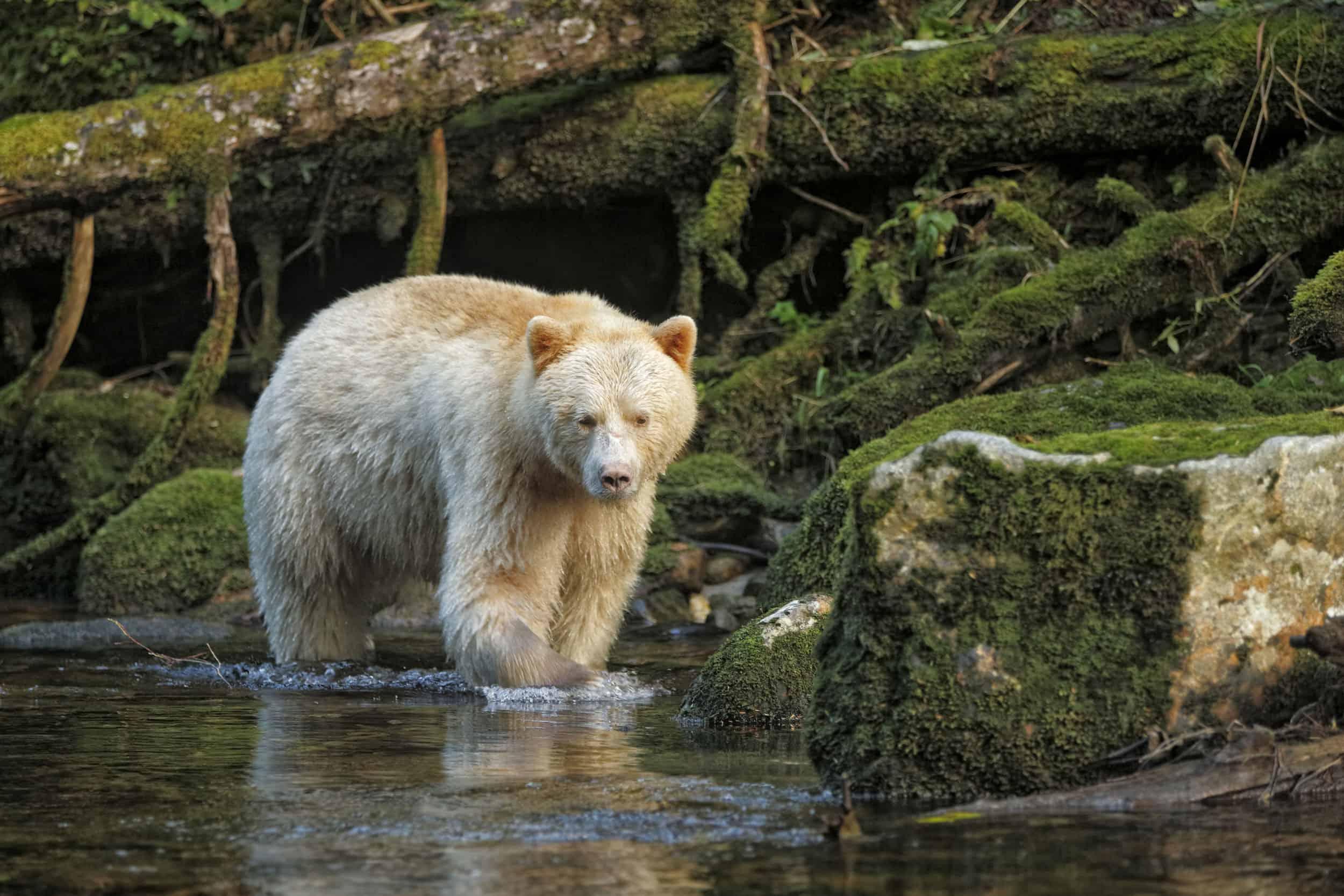 Spirit Bears of British Columbia.